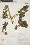 Cnidoscolus urens (L.) Arthur, Nicaragua, M. Araquistain 1073, F