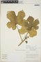 Cnidoscolus urens (L.) Arthur, Nicaragua, W. D. Stevens 3415, F