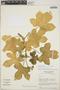 Cnidoscolus urens (L.) Arthur, Nicaragua, W. D. Stevens 4620, F