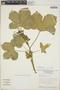 Cnidoscolus urens (L.) Arthur, Nicaragua, W. D. Stevens 17258, F