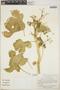 Cnidoscolus urens (L.) Arthur, Costa Rica, G. L. Webster 22180, F