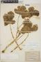 Cnidoscolus urens (L.) Arthur, Costa Rica, J. A. Echeverria 4139, F
