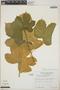 Cnidoscolus urens (L.) Arthur, Costa Rica, R. L. Wilbur 20893, F