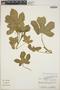 Cnidoscolus urens (L.) Arthur, Panama, J. P. Folsom 3405, F
