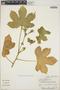 Cnidoscolus urens (L.) Arthur, Panama, J. P. Folsom 6898, F