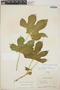 Cnidoscolus urens (L.) Arthur, Panama, D. R. Harvey 5017, F