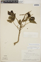 Cnidoscolus urens (L.) Arthur, Panama, C. Díaz 27A, F