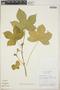 Cnidoscolus urens (L.) Arthur, Panama, G. J. Breckon P-1300, F