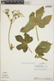 Cnidoscolus urens (L.) Arthur, Panama, T. M. Antonio 2482, F