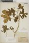 Cnidoscolus urens (L.) Arthur, Panama, J. F. Macbride 2773, F