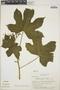 Cnidoscolus urens (L.) Arthur, Panama, J. A. Lara 50, F
