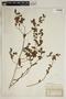 Euphorbia hirsuta (Torr.) Wiegand, Portugal, O. Buchtien