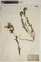 Euphorbia hirsuta (Torr.) Wiegand, Italy, P. Savi 3466
