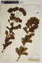 Euphorbia hirsuta (Torr.) Wiegand, France