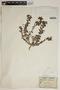 Euphorbia hirsuta (Torr.) Wiegand, France, M. D. Luizet
