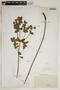 Euphorbia hirsuta (Torr.) Wiegand, Italy, J. Ball