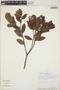 Gaultheria reticulata Kunth, Peru, R. B. Foster 7522, F