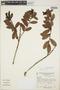 Gaultheria reticulata Kunth, Peru, A. Cano E. 2862, F
