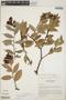 Cavendishia bracteata (Ruíz & Pav. ex J. St.-Hil.) Hoerold, Panama, R. L. Wilbur 13326, F
