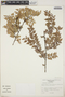 Gonocalyx almedae Luteyn, Costa Rica, N. Zamora V. 1216, F