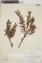 Vaccinium consanguineum Klotzsch, Costa Rica, R. L. Wilbur 10071, F