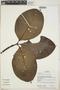 Couma macrocarpa Barb. Rodr., Panama, R. B. Foster 14561, F