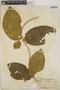 Prestonia mexicana image
