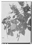 Field Museum photo negatives collection; Paris specimen of Licania kunthiana Hook. f., British Guiana [Guyana], Schomburgk 728, Isolectotype, P