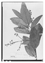 Field Museum photo negatives collection; Paris specimen of Virola parvifolia Ducke, Brazil, A. Ducke, Type [status unknown], P