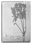 Field Museum photo negatives collection; Paris specimen of Monnina crassifolia (Bonpl.) Kunth, Ecuador, F. W. H. A. von Humboldt, Type [status unknown], P
