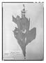 Field Museum photo negatives collection; Paris specimen of Monnina pilosa Kunth, Ecuador, F. W. H. A. von Humboldt, Type [status unknown], P