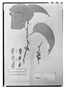 Field Museum photo negatives collection; Paris specimen of Roupala complicata Kunth, F. W. H. A. von Humboldt 752, Holotype, P