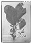 Field Museum photo negatives collection; Paris specimen of Roupala obovata Kunth, F. W. H. A. von Humboldt, Holotype, P