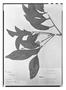 Field Museum photo negatives collection; Paris specimen of Roupala pinnata Lam., French Guiana, Richard s.n., Holotype, P