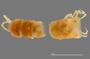 1164 Apterimus brasilius female, type, anterior end, dorsal  view
