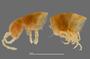 1164 Apterimus brasilius female, type, anterior end, lateral view