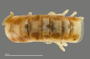 1165 cf. Gauchoma missionis male, holotype, mid-body, dorsal view