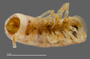 1165 cf. Gauchoma missionis male, holotype, mid-body, ventral view