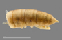 1165 cf. Gauchoma missionis male, holotype, posterior end, dorsal view