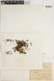 Hymenophyllum lineare image
