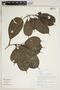 Blakea cf. sawadae J. F. Macbr., Peru, R. B. Foster 10778, F
