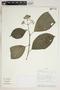 Conostegia montana (Sw.) D. Don ex DC., Ecuador, H. Vargas 1328, F
