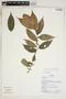 Clidemia dimorphica J. F. Macbr., Ecuador, K. Romoleroux 2984, F