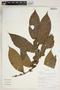 Clidemia heterophylla (Desr.) Gleason, Peru, R. B. Foster 10133, F