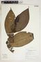Clidemia heterophylla (Desr.) Gleason, Peru, R. B. Foster 11600, F