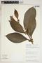 Clidemia juruensis (Pilg.) Gleason, Peru, S. D. Knapp 6937, F
