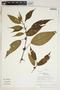 Clidemia obliqua Cogn., Peru, R. B. Foster 11837, F