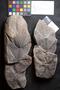 PP 58252 [HS, M] Asterophyllites longifolius, Moscovian / Desmoinesian, Francis Creek Shale Member