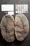 PP 58202 [HS, M] Asterophyllites equisetiformis, Moscovian / Desmoinesian, Francis Creek Shale Member