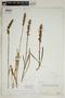 Spiranthes incurva (Jenn.) M. C. Pace, U.S.A., C. W. Duesner, F